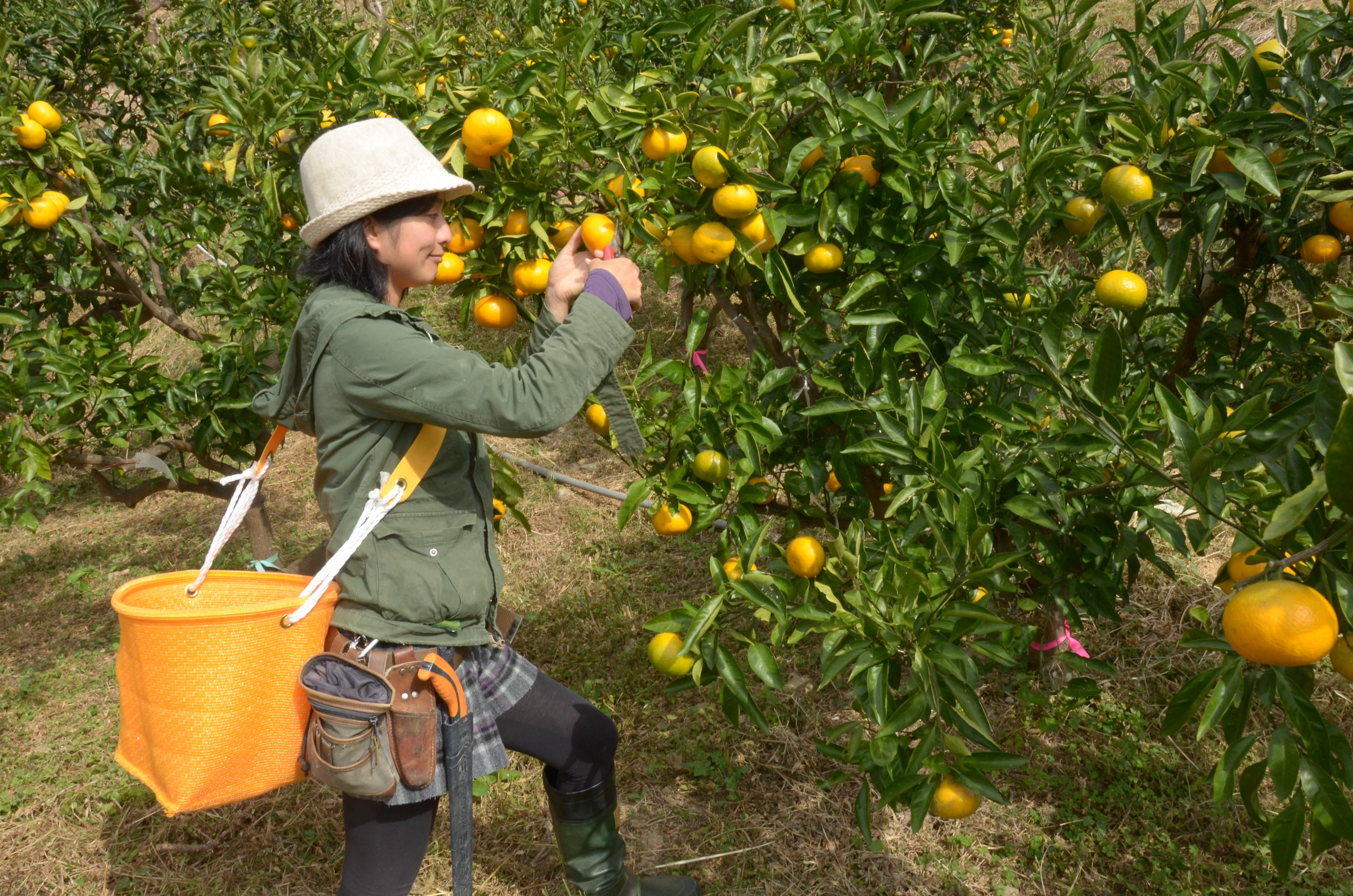 「収穫がはじまりました! 援農サポーター、募集します*\(^o^)/*」