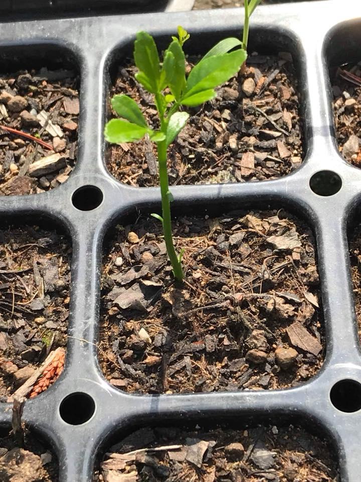「カラタチの芽が出た!