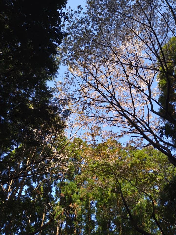 「山に咲く山桜は」